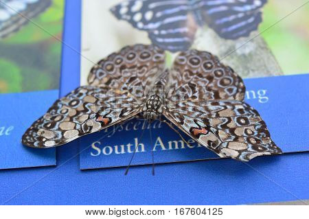 Grey Cracker Butterfly