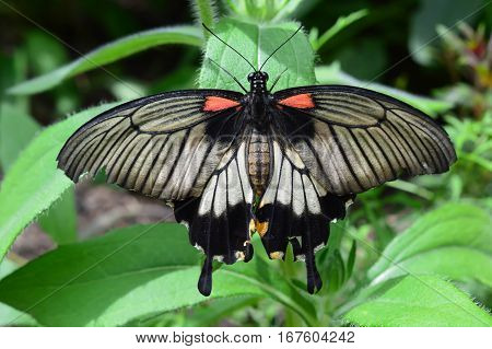 King Butterfly On The Plant