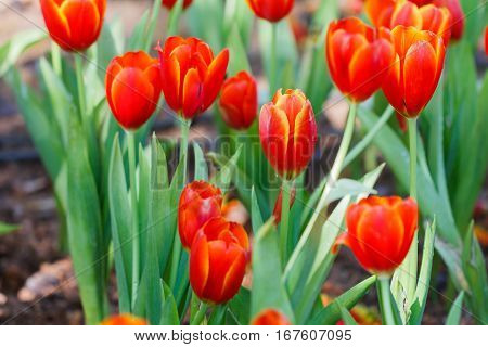 Red Tulips petals orange under sunlight landscape shade trees in the park