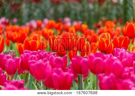 Tulip red petals with yellow flowers in the garden foreground tulip pink and background tulip red and pink blurry.