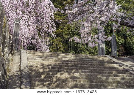 Yoshino cherry blossoms above stone steps in front of weeping cherry blossoms