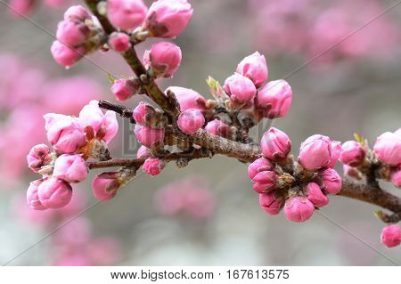 Pink cherry blossom buds almost ready to open for Japan's spring sakura season