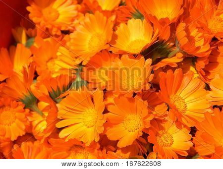 calendula ( Marigold ) flowers close up golden autumn orange background selective focus