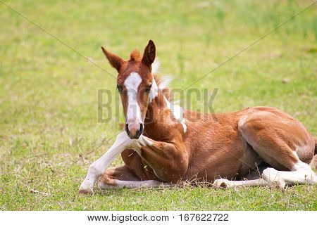 young colt sitting in a pasture trying to get up