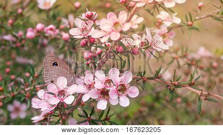 Australian native butterfly and plant with natural pink leptospermum flowers