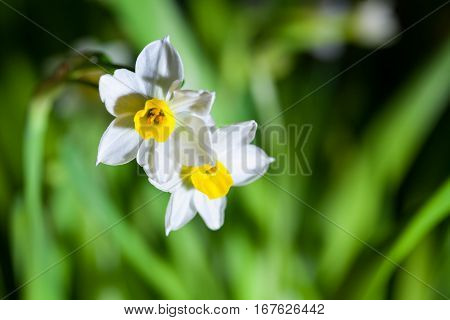 blooming narcissus in spring springtime flower closeup