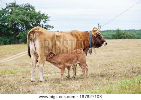 Calf drinking from the udder of the cow
