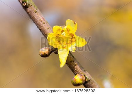blooming wintersweet flower yellow chimonanthus fragrans closeup