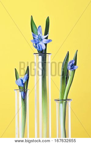 Three flowers in a test tubes on a yellow background. Scientific Experiment. Blue snowdrop flowers in a glass vases. Spring still life with bluebells. Siberian squill or Scilla siberica.