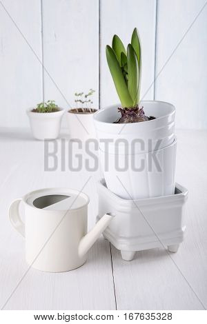 Young hyacinth bulb (with leaves and buds) in a flowerpots and watering can on white background.