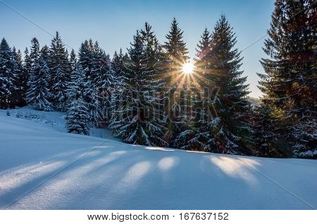 Winter Spruce Forest With Sun And Blue Sky