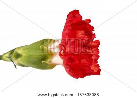Flower of red carnation (Dianthus caryophyllus) isolated on white background.