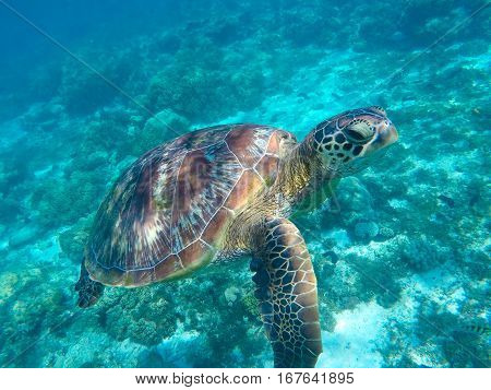 Sea turtle in blue water. Green tortoise close underwater photo. Tropical sea animal in wild nature. Green turtle swimming in the sea. Snorkeling adventures. Philippines snorkeling spot - Apo island