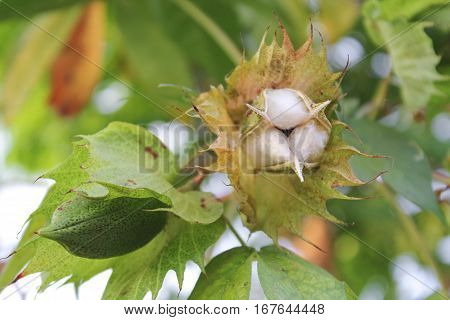 cotton tree with leaf in the garden