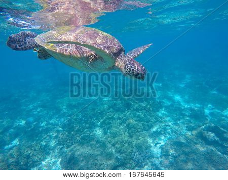 Green turtle swims in aqua blue water. Tropical sea animal. Underwater photo of big sea turtle. Lovely marine animal close-up. Snorkeling in exotic seashore.Beautiful oceanic world banner template.