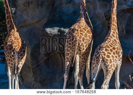 Geometric Patterns Of Giraffes Skin