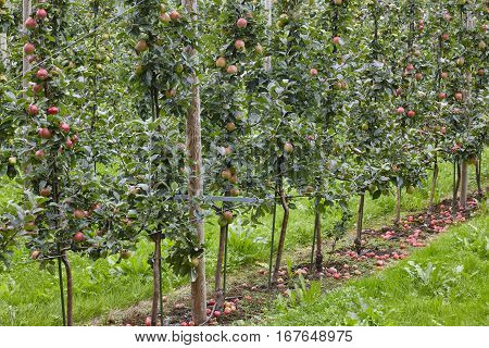 Red apples on a trees. Green background. Agriculture. Harvest time