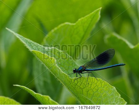 Dark blue Dragonfly resting on a leave