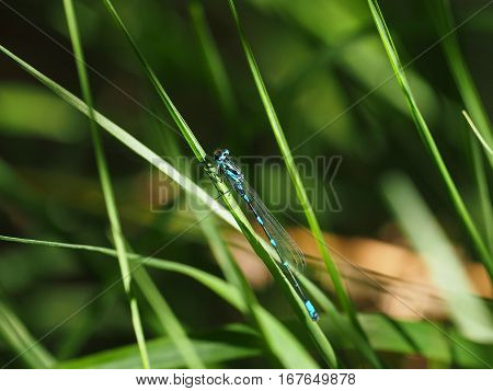 Black and blue dragonfly resting on a straw