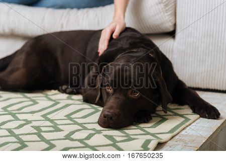 Close to his mistress. Pleased thankful young woman petting her dog while it lying on a bright carpet beside her and looking a little sad