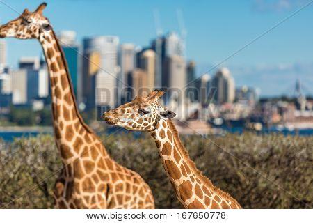 Giraffes On Sunny Day With Sydney Cbd On The Background