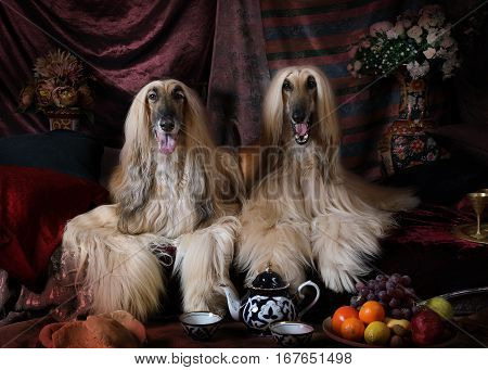 Purebred Afghan hounds dogs lying on the carpet in the Arab style interior with fruit and flowers