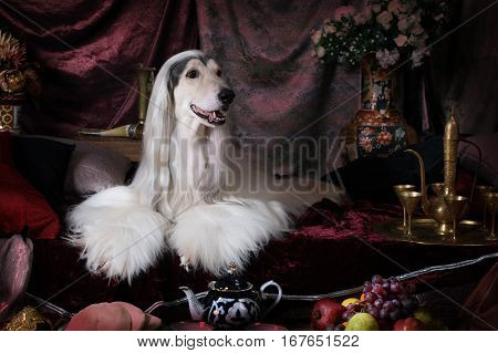 Purebred white Afghan hound dog lying on the carpet in the Arab style interior with fruit and flowers