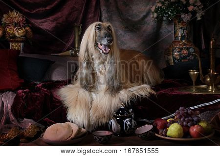 Graceful Afghan hound dog in the Arab style interior with fruit and flowers
