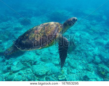 Sea turtle in blue water above coral reef. Tropical sea nature of Philippines Apo island. Olive ridley turtle in blue sea water. Green tortoise in tropical lagoon. Underwater photo of wild tortoise