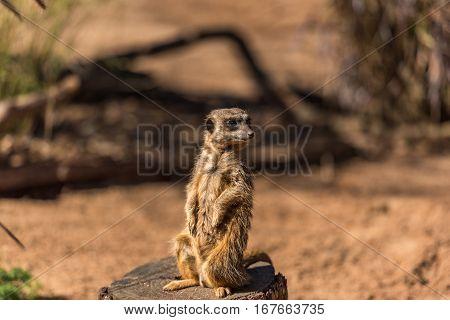 African Mongoose, Suricate Or Meerkat Standing
