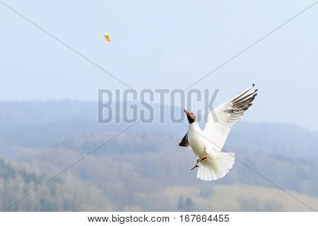 Photo of black headed gull in flight