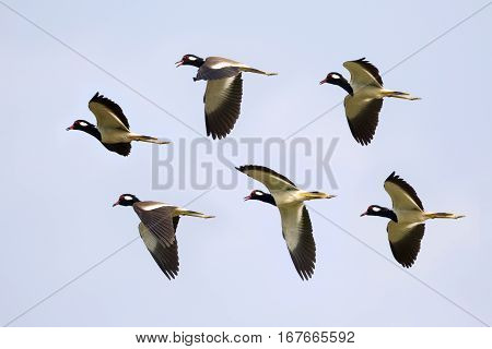 Image of flock bird flying in the sky. Wild Animals. (Red-wattled Lapwing)