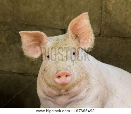 Image of a pig in the farm. Farm Animam.