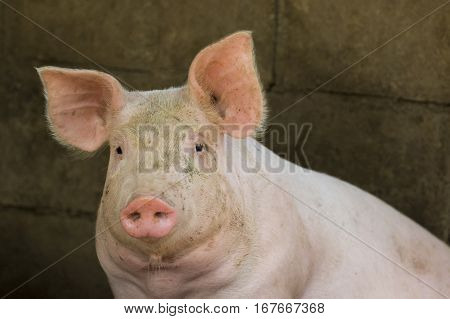 Image of a pig in the farm. Farm Animam.