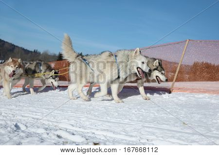 Pair of runs husky dog sleigh harnessed winter landscape on a sunny day.