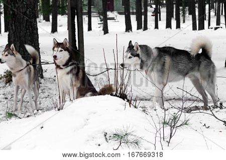 Working Husky sled tandem. Siberian dogs driven sleigh people in the North. Animals active dog sports at work in the winter.