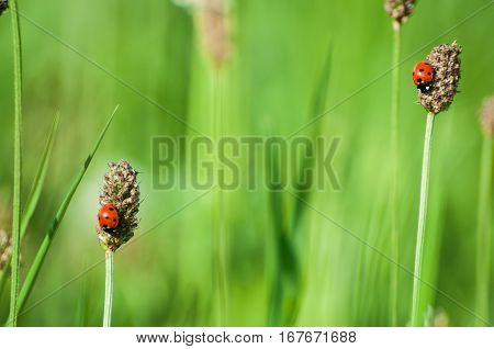 ladybug and grass in spring with leaves,insect,luck, happiness