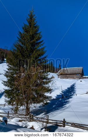 Lonely fir tree near old farmhouse on a the snow-covered mountain in the Carpathians.