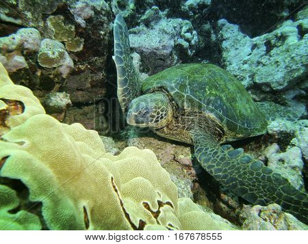 Close up of a green turtle resting on sea bed Hilo HI USA