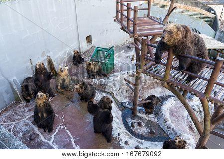 Japanese Brown bear