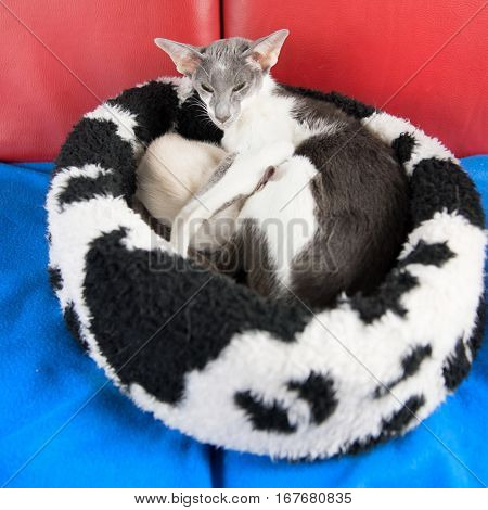 Modern gray mottled pure breed Siamese mother cat with drinking kittens