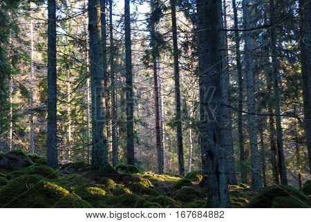 Mossy ground in a spruce tree forest with big trees