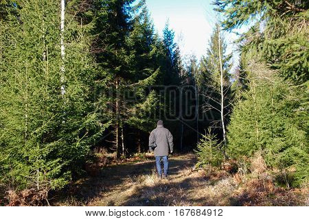 Man is walking at a footpath in a spruce tree forest