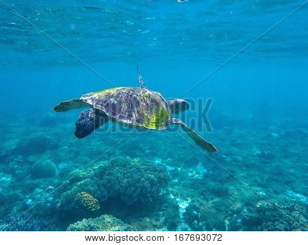 Sea turtle in blue water. Green sea turtle seeking for food in blue seashore water. Salt water animal. Sea animal. Cute turtle photo for wallpapers or background. Summer vacation travel to Philippines