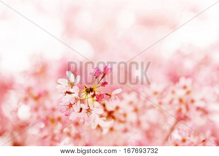 Spring Cherry blossoms in full bloom with cute new flower buds. Focus on flower bud. Shallow depth of field.