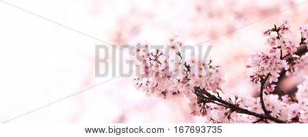 Serene spring cherry blossoms with many new flower buds in darker pink color. Wide Title header dimension image. Intentionally shot in surreal impressional color.