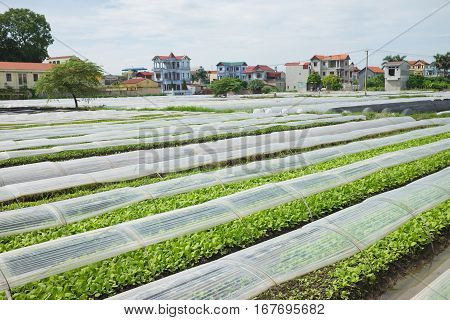Vegetable Plot Covered By Plastic Paper In Suburb Of Hanoi City