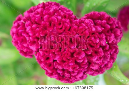 Tropical flower Celosia cristata in garden. Hot pink Celosia cristata closeup photo. Ornate structure of tropic blossom. Magenta flowering plant head image. Macro photo of exotic bloom with leaves