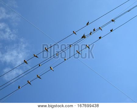 beautiful swallow perched on wires in spring