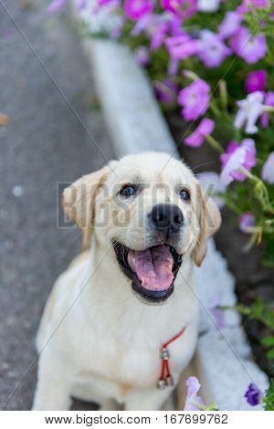 Labrador Puppy walks in the park in the summer. Beautiful purebred puppy golden retrivergulyaet near the flowers, the grass in the park in spring.